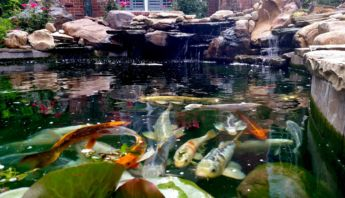 Koi+Pond+Adjusted+2